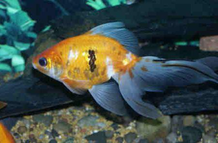 аквариумные рыбки вуалехвост содержание