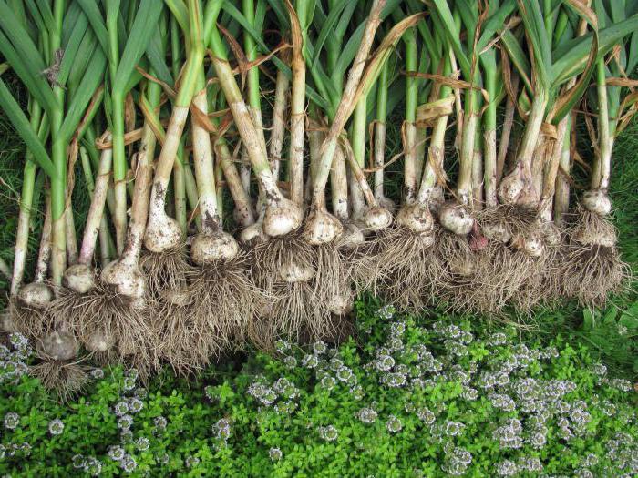 бизнес план по выращиванию чеснока