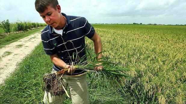 как выращивают рис в россии меняйте систему