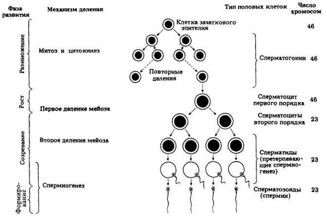 zhivuchest-spermatozoidov-vo-vlagalishe
