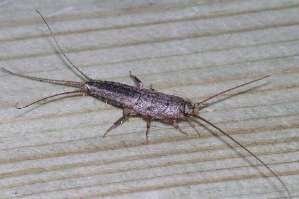 мокрица насекомое как избавиться