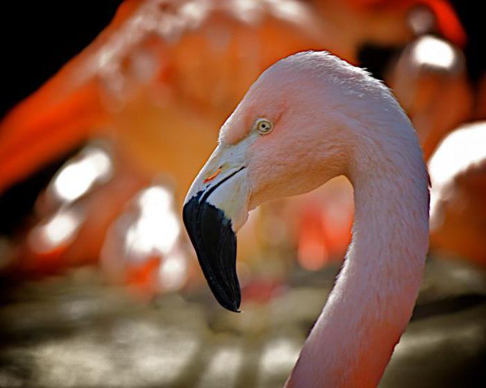 фламинго птица краткое описание