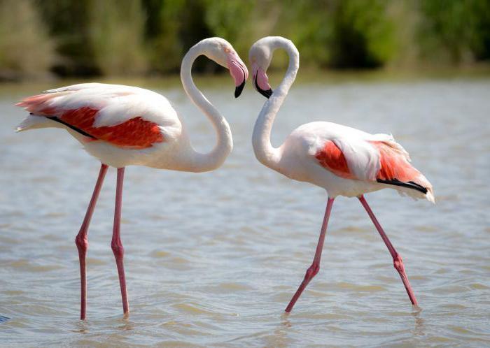фламинго птица красная книга
