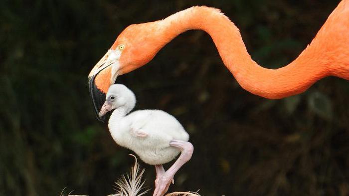 фламинго красивая птица