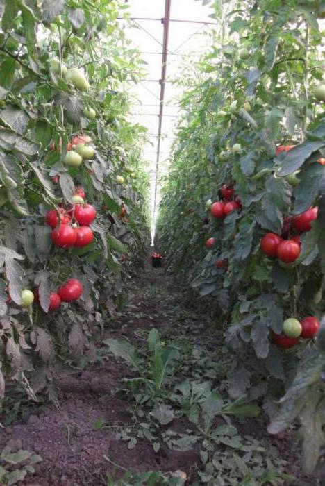 томат пинк буш f1 высота куста