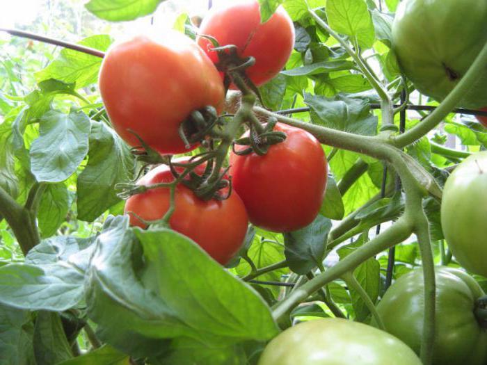 какие сорта томатов самые урожайные