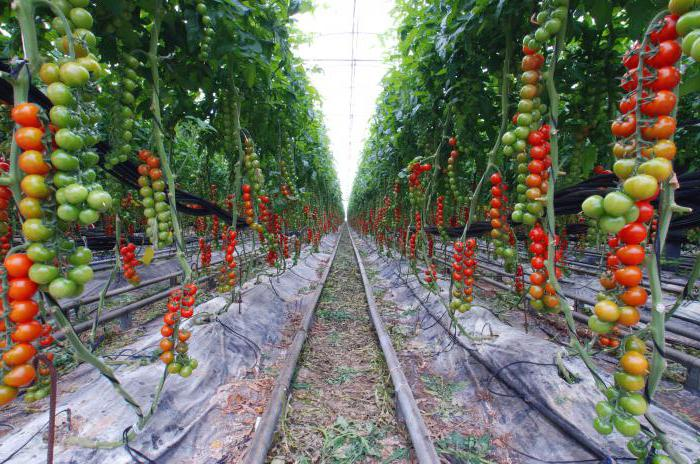 самые урожайные сорта томатов для сибири