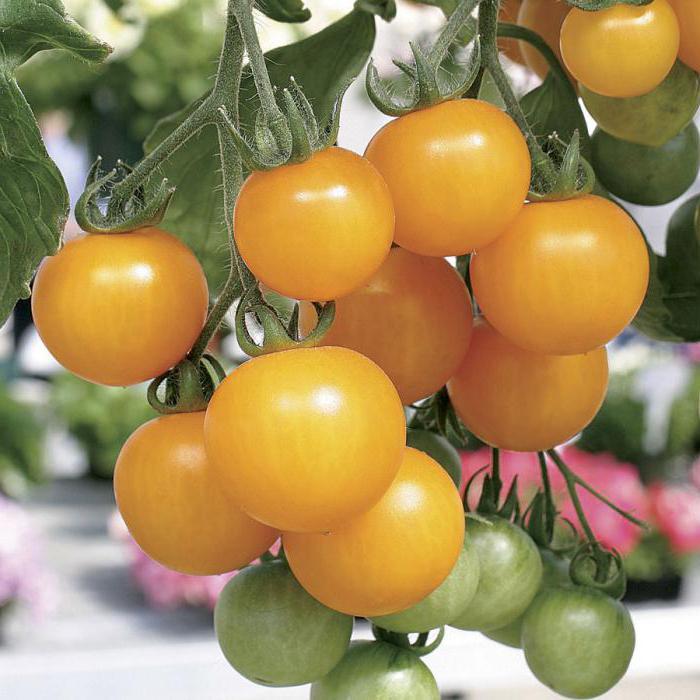 самые урожайные сорта томатов для подмосковья