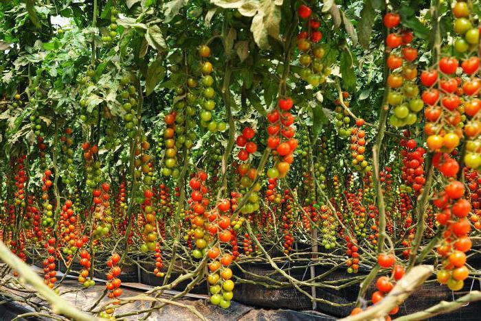 емена томатов самые урожайные сорта для теплиц