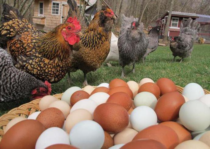 Порода самой яйценоской курицы