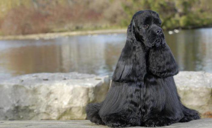 собака кокер спаниель американский характер