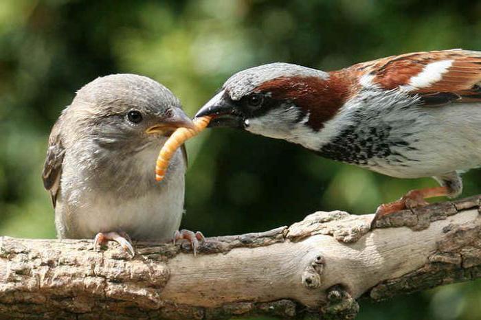 как отпугнуть птиц от черешни народный способ