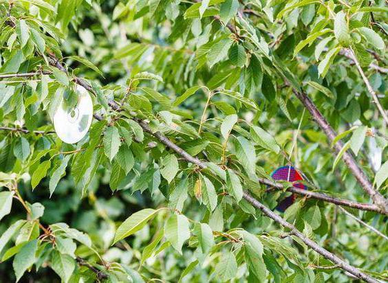 защитить урожай черешни от птиц