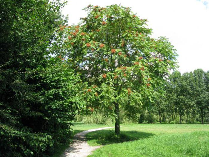 айлант дерево