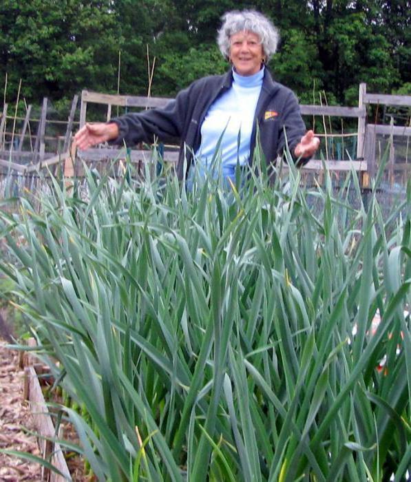 удобрение лук чеснок состав
