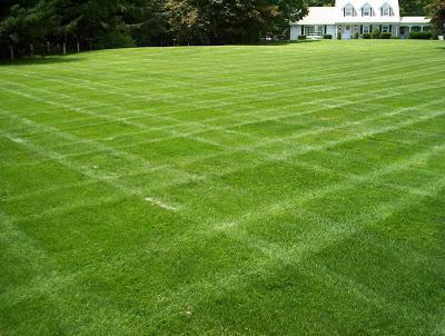 трава мятлик луговой