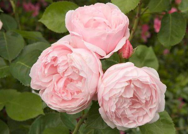 светло розовые розы