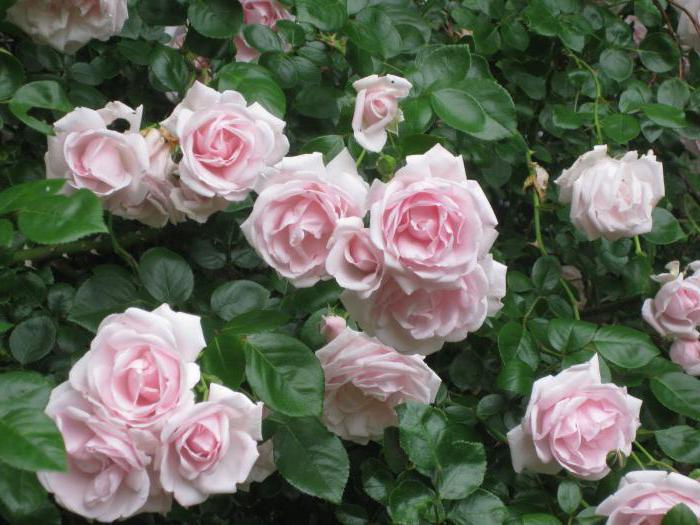 роза херитейдж описание