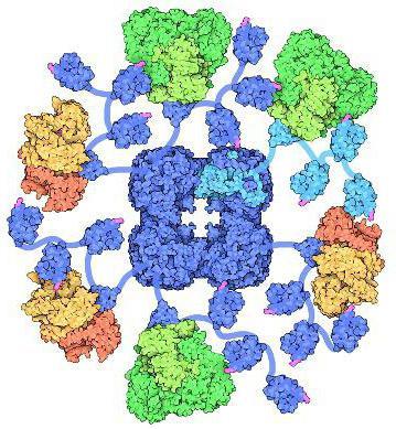 пируватдегидрогеназный комплекс реакции