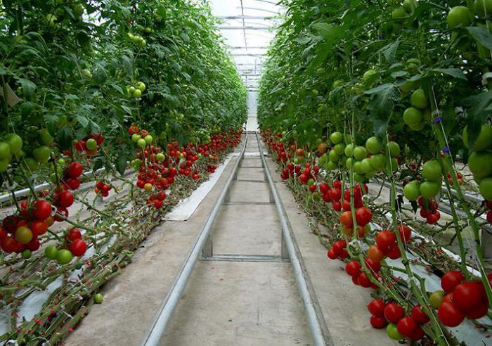 опрыскивание томатов йодом