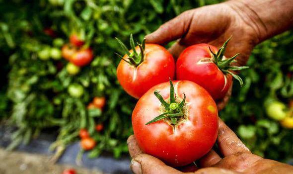 полив томатов йодом