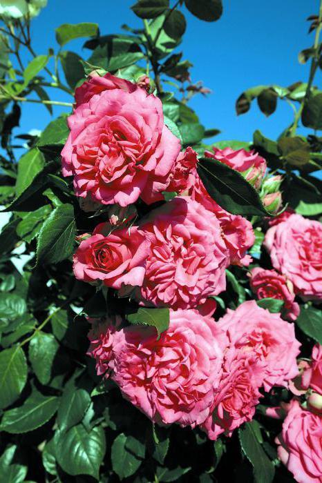 роза маритим отзывы