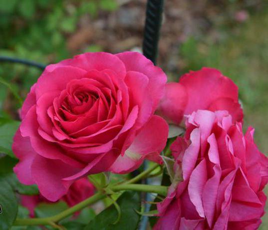 роза плетистая maritim