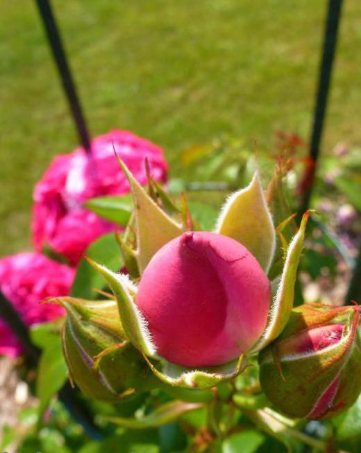 роза маритим описание