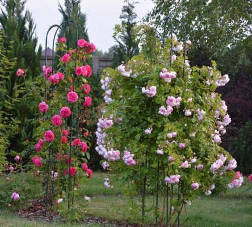 плетистая роза посадка и уход в открытом <a href='http://monateka.com/article/6744/ '>грунте</a>