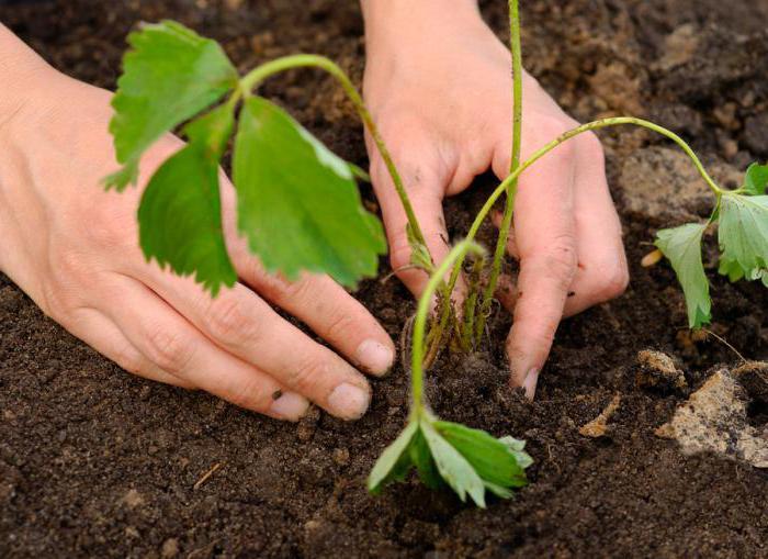 клубника марышка особенности выращивания