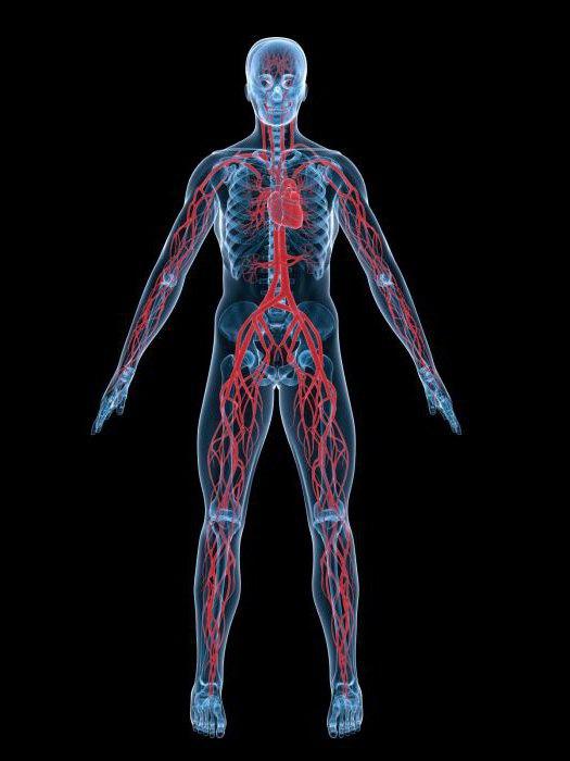 впервые кровеносная система появилась у