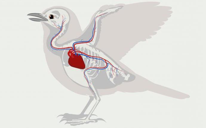 кровеносная система органов впервые появилась у