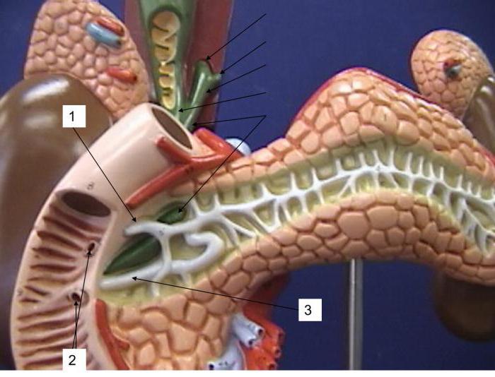 протоки поджелудочной железы открываются в