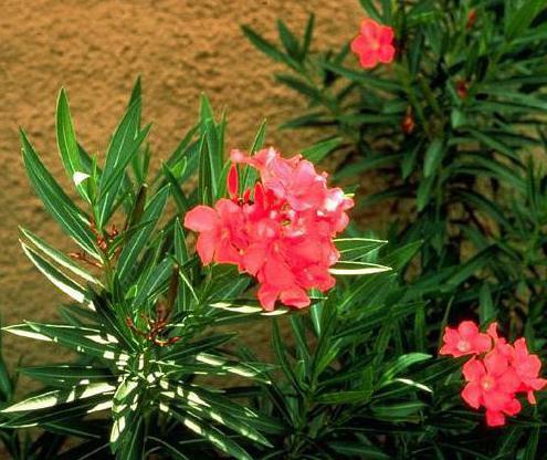 олеандр ядовитое растение или нет