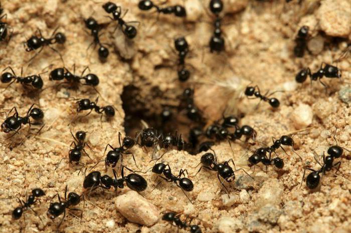 Средство от муравьев порошок