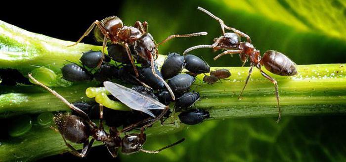 Порошок от муравьев отзывы