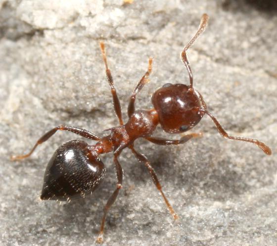 Порошок от садовых муравьев