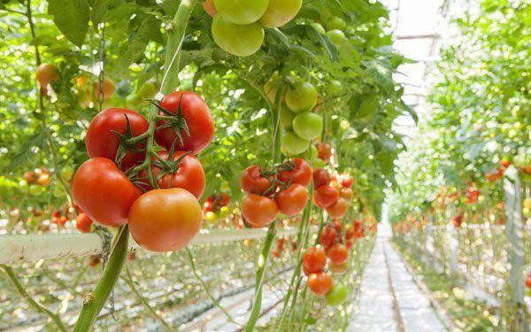 подкормка рассады помидор куриным пометом