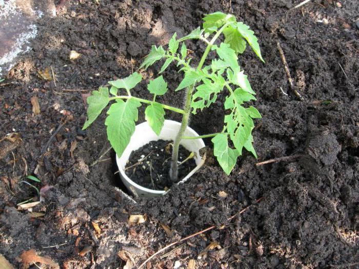 подкормка рассады помидор коровяком