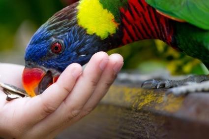чем кормят попугаев