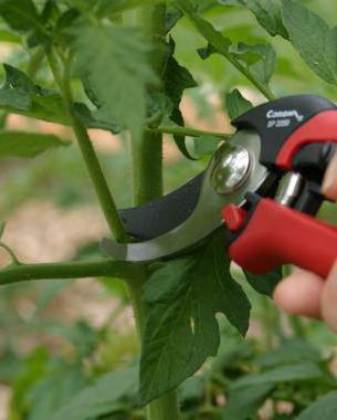 обрезают ли листья у помидор в теплице