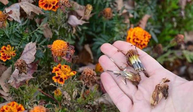 как правильно собирать семена бархатцев