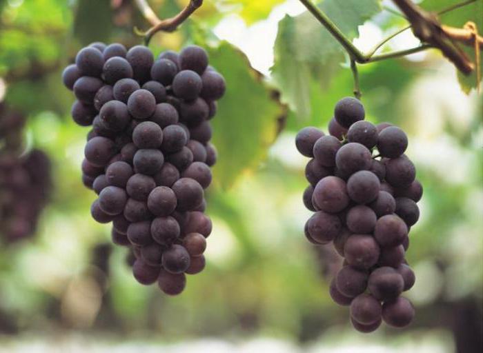 Можно ли поправиться от винограда