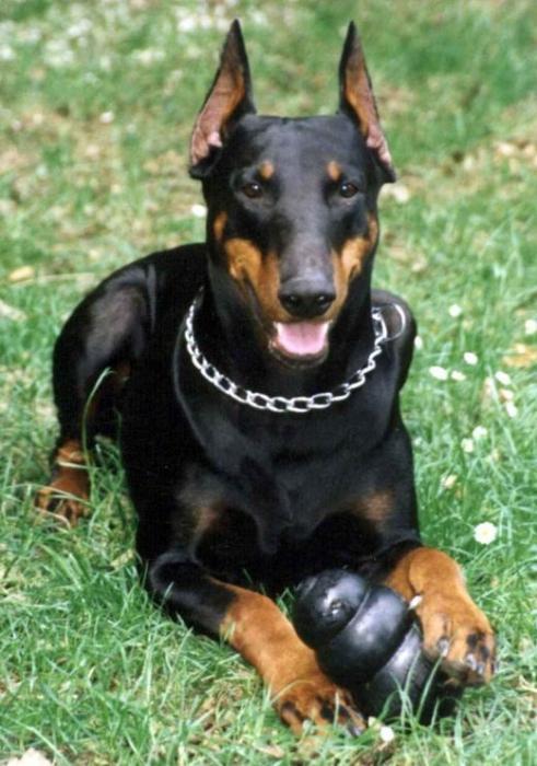 какая порода собак самая злая