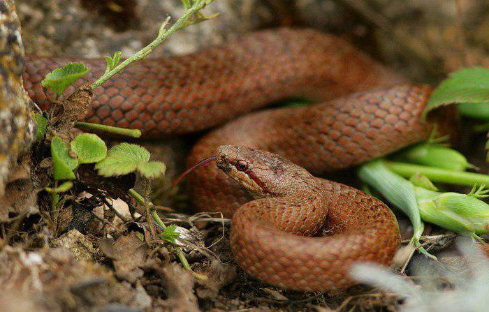 змея огневка фото и описание