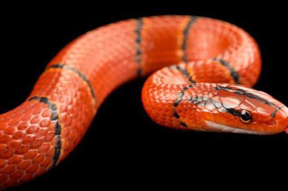 змея огневка фото