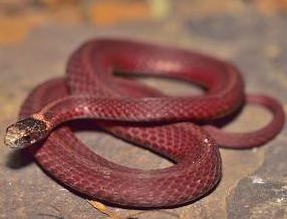 змея огневка сибирь фото