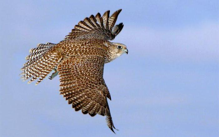 Балобан птица описание
