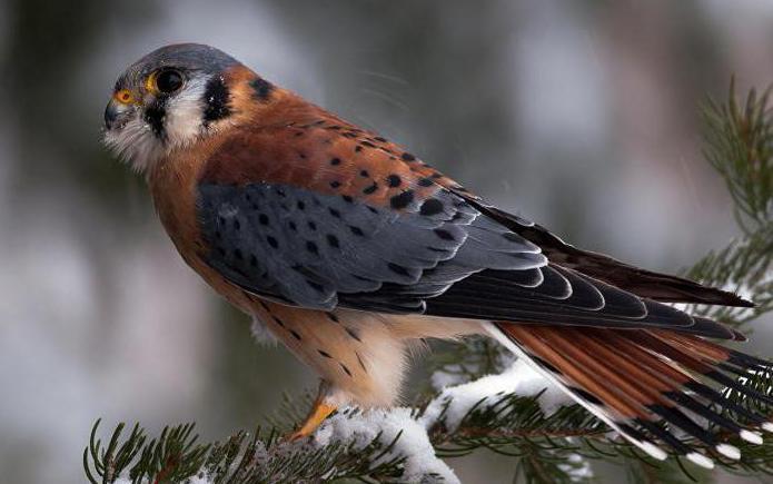 Балобан птица Красная книга