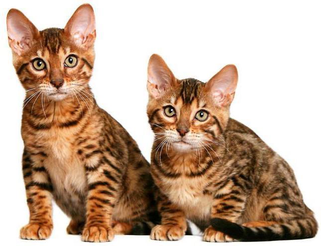 калифорнийская сияющая очень редкая порода кошек